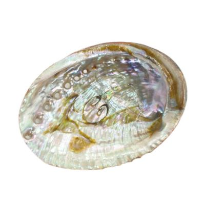 abalone_schelp_mini-wwwdragoneurotradenl (1)